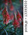 アロエの花 13393650