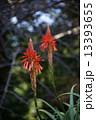 アロエの花 13393655