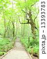 小道 森 森林の写真 13393783