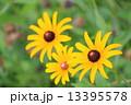 ルドベキア アラゲハンゴンソウ 花の写真 13395578