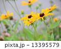 ルドベキア アラゲハンゴンソウ 花の写真 13395579