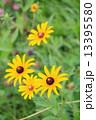 ルドベキア アラゲハンゴンソウ 花の写真 13395580