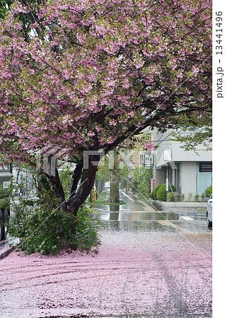 雨の日の桜 13441496