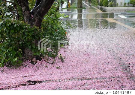雨の日の桜 13441497