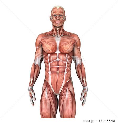 人体模型 13445548