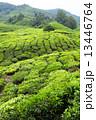お茶 茶 マレーシアの写真 13446764