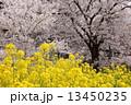 菜の花 春 桜の写真 13450235