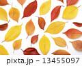 桜の落ち葉 13455097
