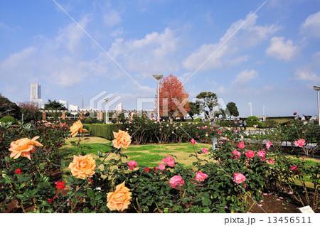 山下公園のバラ園 13456511
