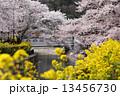 菜の花 満開 桜の写真 13456730