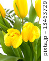 yellow tulips on white background 13463729