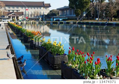 上野公園噴水広場の早咲きのチューリップと東京国立博物館 13474371