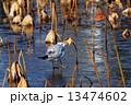凍結した上野の蓮池のカモメと枯れハス 13474602
