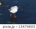 凍結した上野の蓮池の上のカモメ 13474603