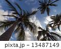 ヤシ 木 見上げているの写真 13487149