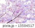 タカトオコヒガンザクラ 13504517