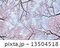 タカトオコヒガンザクラ 13504518