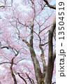 タカトオコヒガンザクラ 13504519
