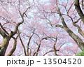 タカトオコヒガンザクラ 13504520