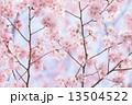 タカトオコヒガンザクラ 13504522