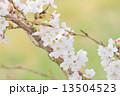 タカトオコヒガンザクラ 13504523