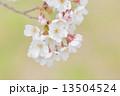 タカトオコヒガンザクラ 13504524
