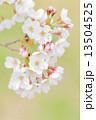 タカトオコヒガンザクラ 13504525