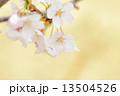 タカトオコヒガンザクラ 13504526