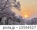 夕日と桜 13504527