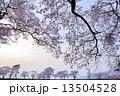 夕暮れ時の桜 13504528