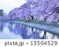 夕暮れ時の桜 13504529