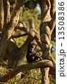 陸上動物 チンパンジー 動物の写真 13508386