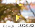 イチョウ クモの巣 落葉の写真 13525152