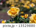 黄色い薔薇 13529880