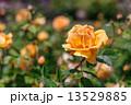 黄色い薔薇 13529885