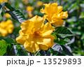 黄色い薔薇 13529893