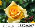 黄色い薔薇 13529897