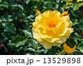 黄色い薔薇 13529898