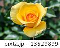 黄色い薔薇 13529899