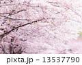 ソメイヨシノ 13537790