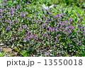 ホトケノザ 満開 花の写真 13550018