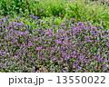 ホトケノザ 満開 花の写真 13550022