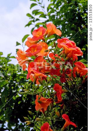 ノウゼンカズラの花 13553850