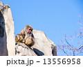 上野動物園|ニホンザル  13556958