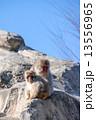 上野動物園|ニホンザル  13556965
