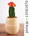 さぼてん サボテン 仙人掌の写真 13561670