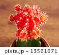 さぼてん サボテン 仙人掌の写真 13561671