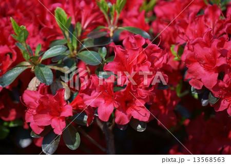 久留米躑躅クルメツツジ  品種は筑紫紅チクシベニ 13568563