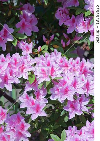 平戸躑躅ヒラドツツジ 花言葉は「愛の喜び」 13568625