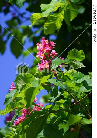 紅花栃の木 花言葉は「博愛」 13569347